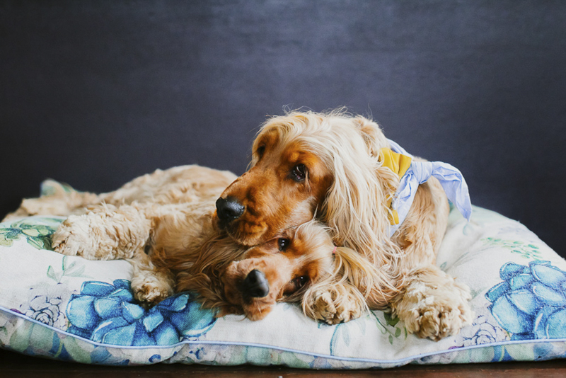two Cocker Spaniels cuddling on cushion, lifestyle dog photography ideas | ©Dogfolk Pet Photography