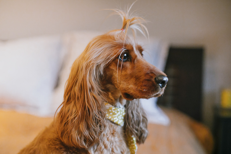 cute Cocker Spaniel | ©Dogfolk dog photography ideas