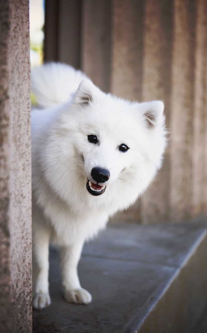handsome Japanese Spitz, Adelaide-Faithful Paws Photography