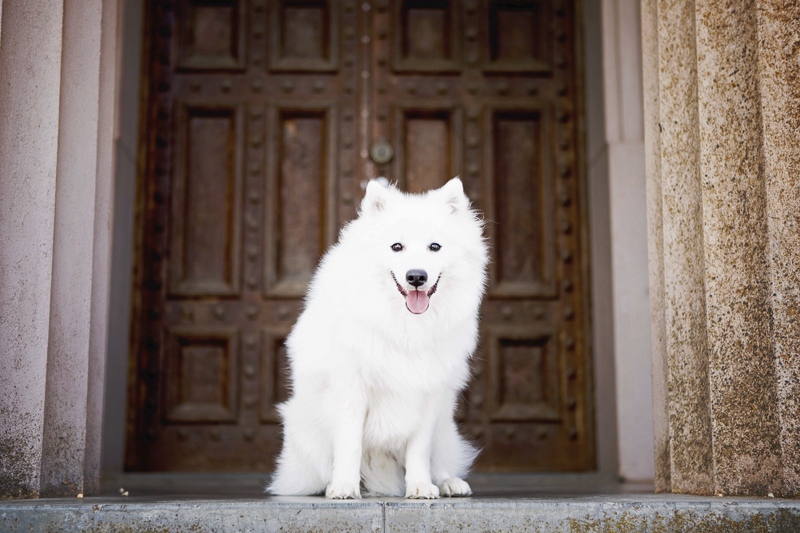 ©Faithful Paws Photography - white dog sitting in front of steps, Adelaide, Japanese Spitz