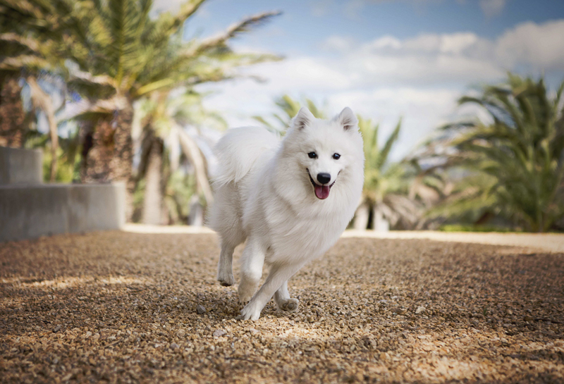 handsome Japanese Spitz running, Adelaide ©Faithful Paws Photography