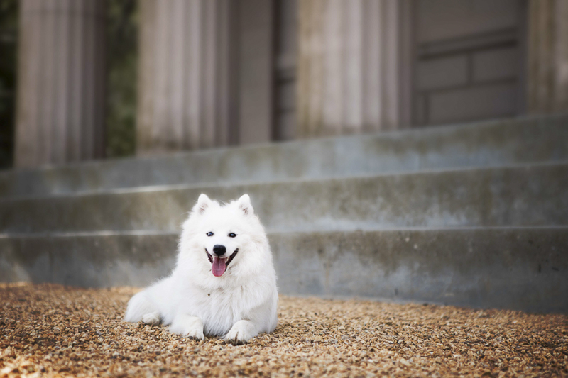 Japanese Spitz lying in front of steps | ©Faithful Paws Photography