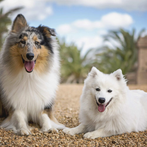 Happy Tails:  Archie the Japanese Spitz & Rupert the Rough Collie