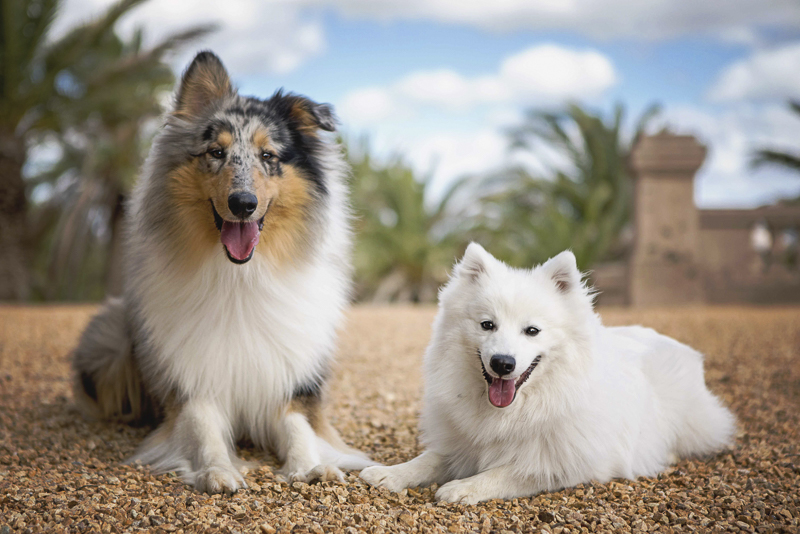 rough collie and Japanese Spitz, Adelaide pet photography