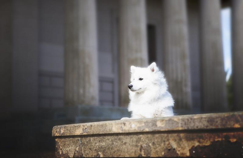 handsome white dog lying on steps, Adelaide Hills