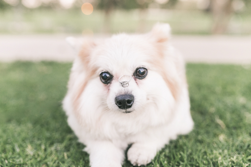 ©Frances Tang Photography | lifestyle dog photography, dog ring bearer, Pomeranian-Corgi mix