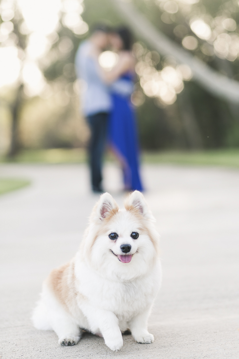 ©Frances Tang Photography   dog-friendly engagement photos, Pomeranian-Corgi mix