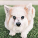 Engaging Tails:  Stewie the Pomeranian-Corgi Mix