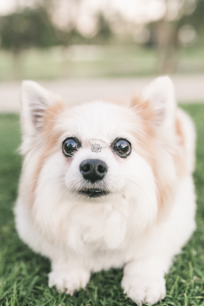 ©Frances Tang Photography | lifestyle dog photography, dog ring bearer, small fluffy dog balancing engagement ring on his nose
