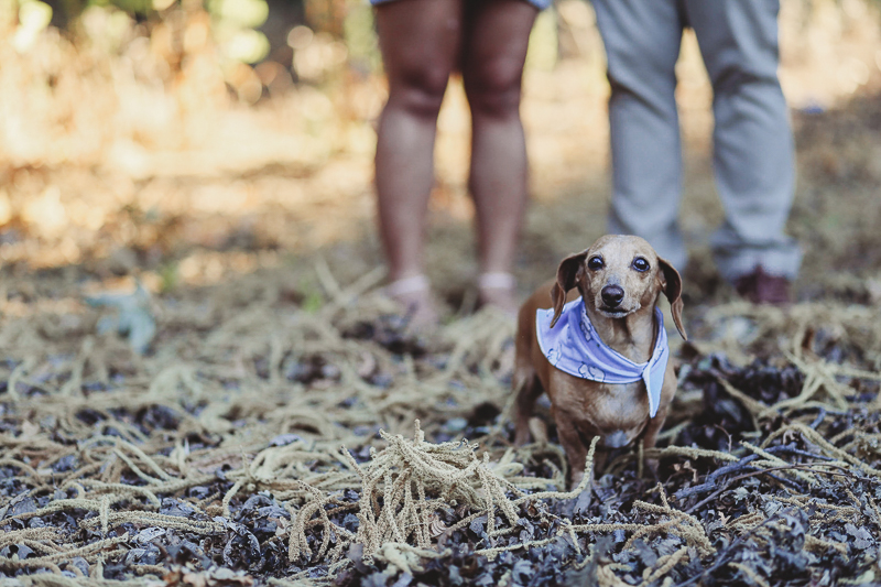 Cute brown Dachshund wearing purple bandana, dog-friendly maternity pictures | ©Kathy Izzy Photography