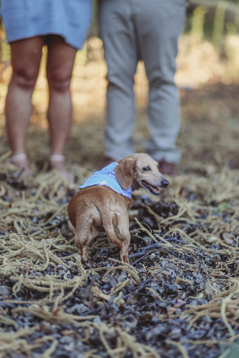 Maternity photos with a dog, Doxie looking backwards at photographer, ©Kathy Izzy Photography