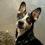 Happy Tails:  Aedan the Shepherd-Husky Mix