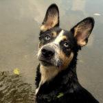 Happy Tails:  Aedan the Shepherd-Husky Mix