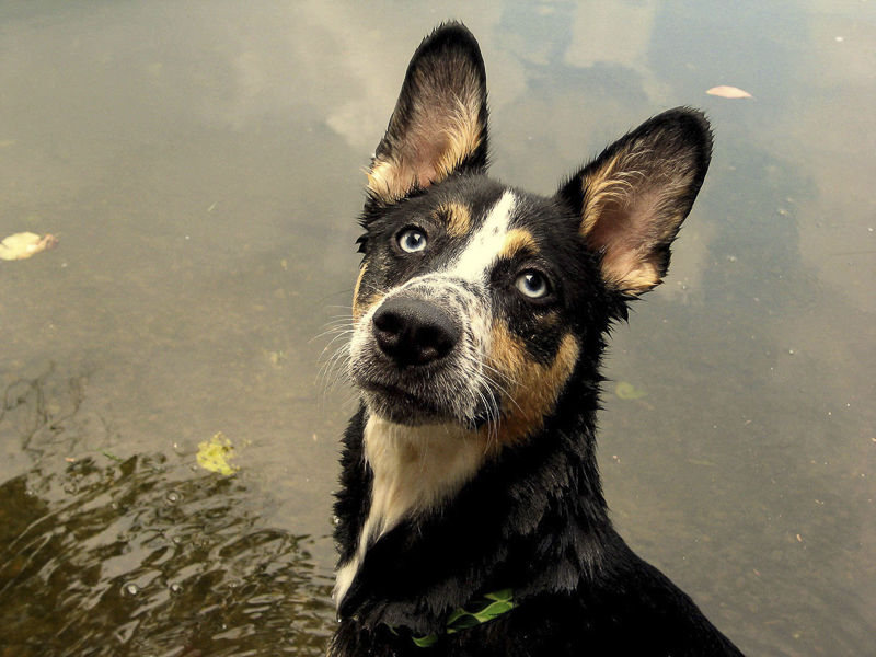 young Shepherd-Husky mix in creek, on location dog photography | ©Katie Jean Photography