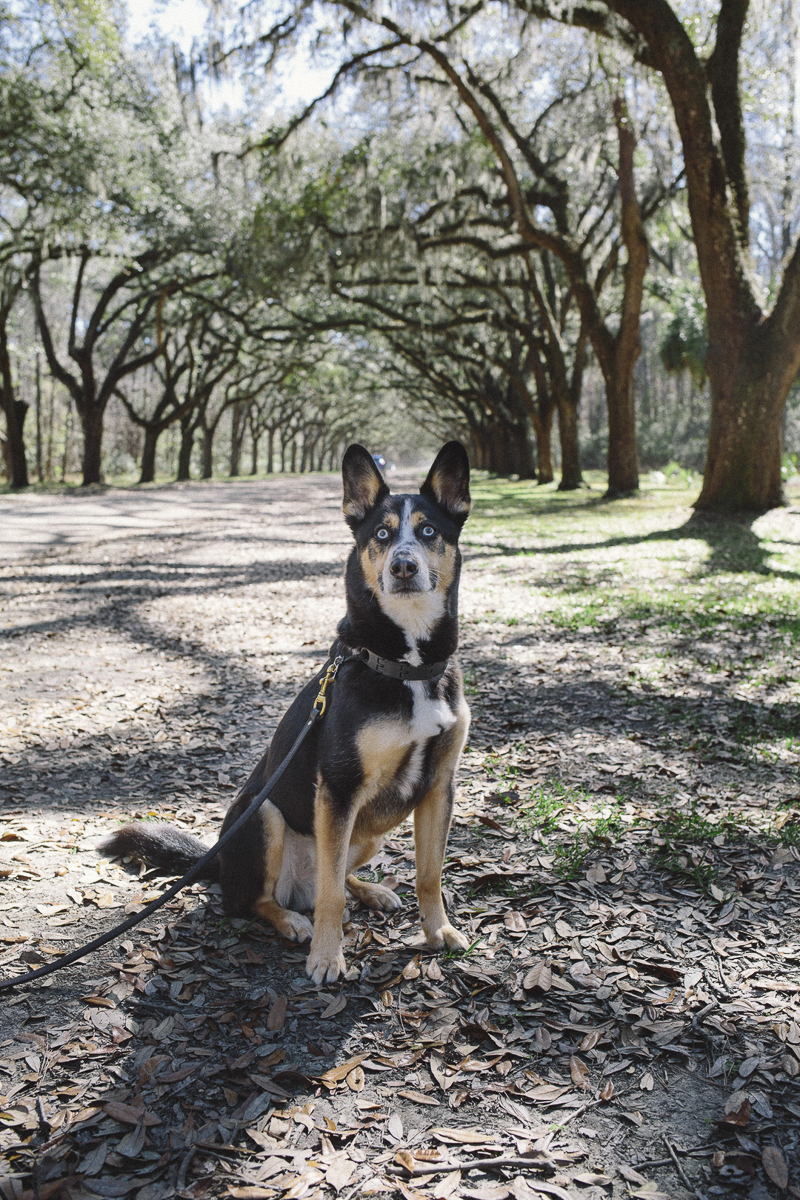 Husky mix sitting on road under live oak and Spanish moss tunnel | ©Katie Jean Photography, outdoor dog photography ideas