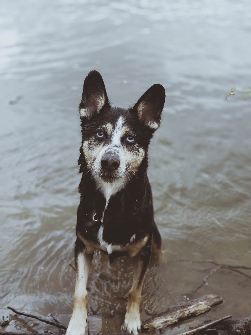 puppy dog eyes, dog sitting in lake waiting for someone to throw a stick, ©Katie Jean Photography -dog portrait ideas
