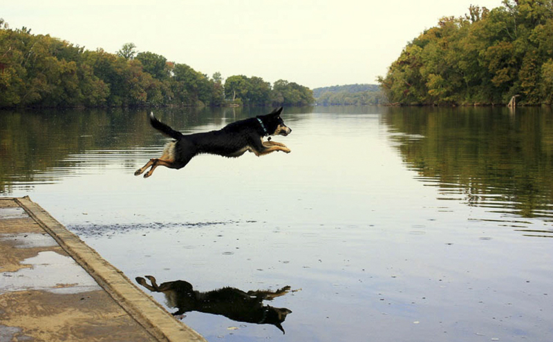 Shepherd mix jumping off dock into lake or river | ©Katie Jean Photography