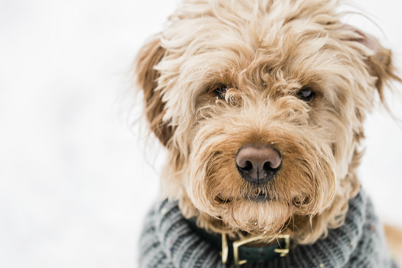 handsome doodle mix , ©Lauren Engfer Photography, winter pet portraits
