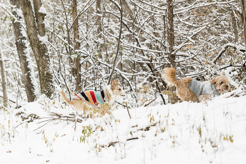 two dogs in sweaters running through the woods, ©Lauren Engfer Photography lifestyle pet photography, Minneapolis, MN
