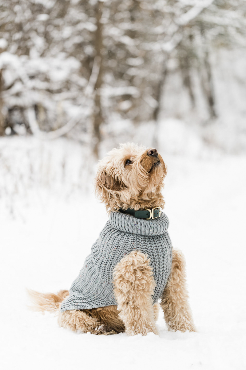 cute doodle dog wearing blue sweater, ©Lauren Engfer Photography, winter pet portraits
