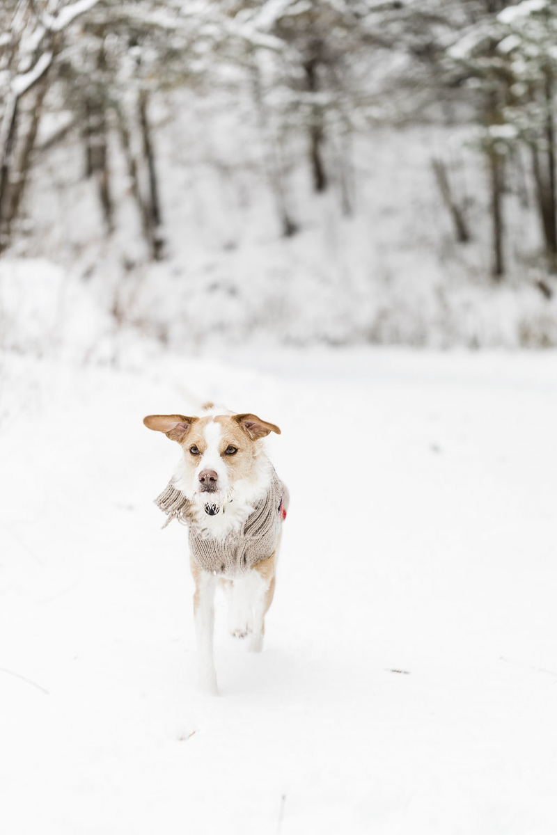 tan and white mixed breed in the snow, ©Lauren Engfer Photography lifestyle pet photography, Minneapolis, MN