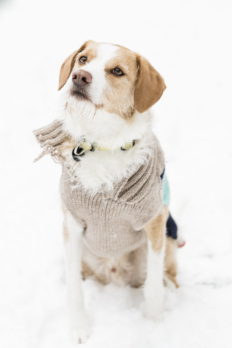 tan and white mixed breed wearing sweater, sitting in the snow | ©Lauren Engfer Photography lifestyle pet photographer, Minneapolis, MN