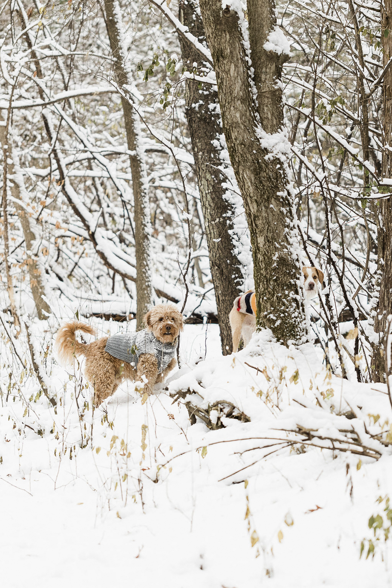 dogs off leash, playing in the snowy woods, ©Lauren Engfer Photography