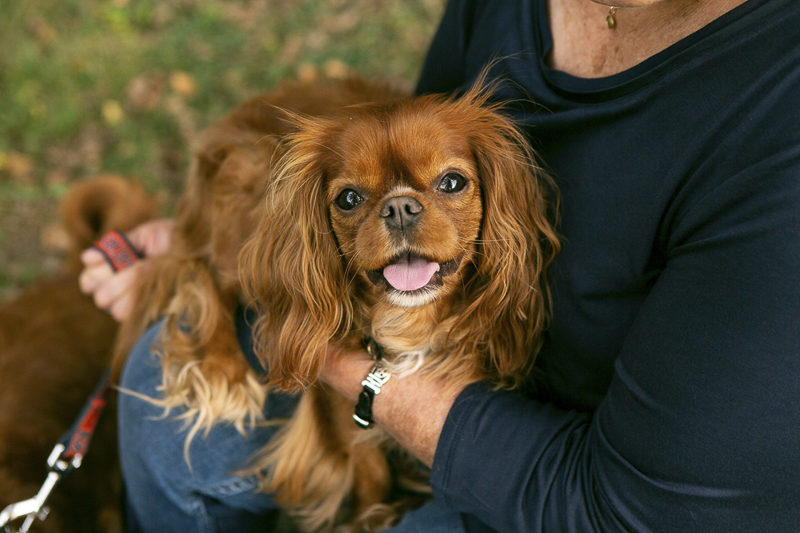 cute brown dog, King Charles Cavalier Spaniel, ©Mandy Whitley Photography | Nashville lifestyle dog photographer