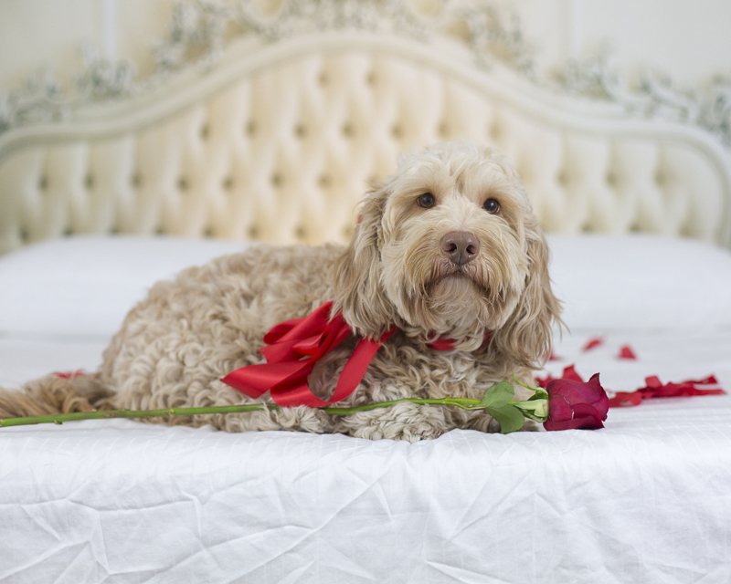 Petentine's Day, dog lying on bed with rose, The Bachelor Dog ©Sarah Keenan Creative