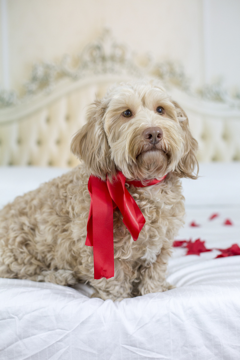 doodle dog sitting on bed, Petentine's Day photoshoot