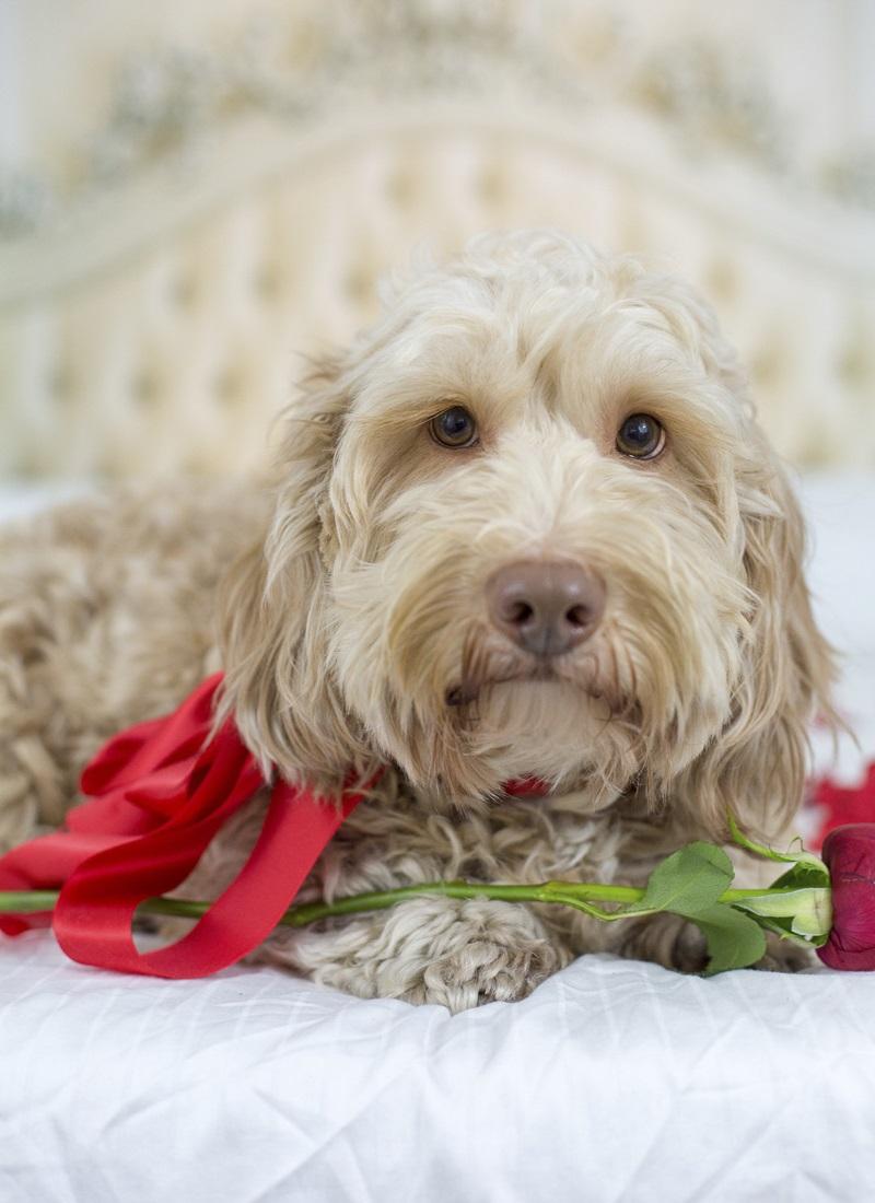 ©Sarah Keenan Creative | the Dog Bachelor, dog with a rose
