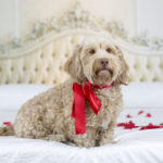 Happy Tails: Harrison | Petentine's Day