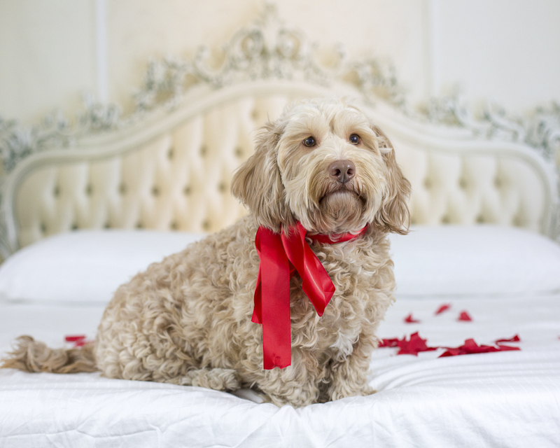 Petentine's Day | dog photography ©Sarah Keenan Creative, dog wearing red ribbon sitting on bed