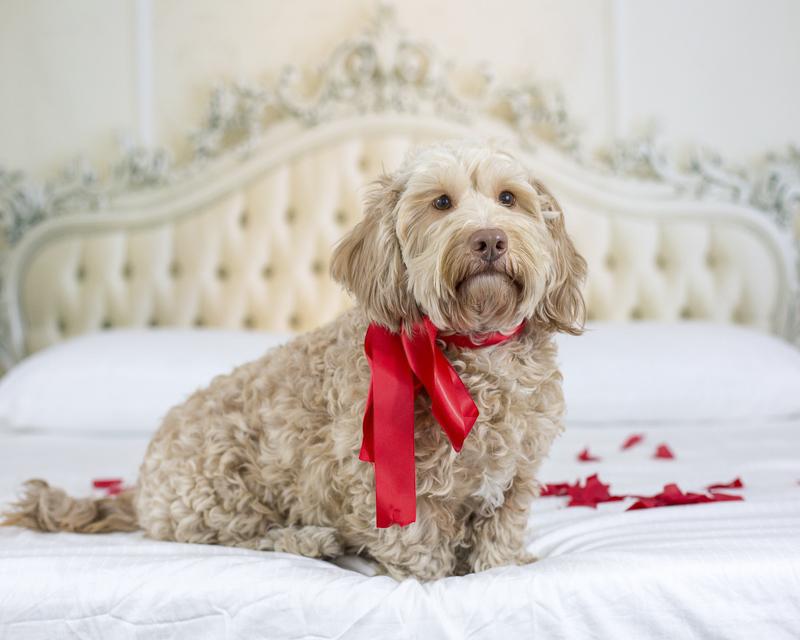 Petentine's Day | dog photography ©Sarah Keenan Creative, dog wearing red ribbon sitting on bed