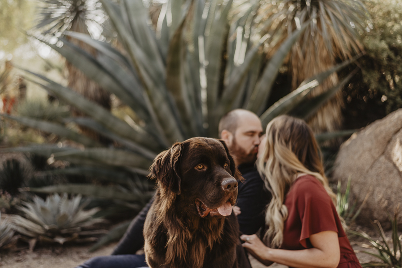 handsome brown Newfoundland, ©Tracie Edwards Photography | dog-friendly photo shoot, Desert Botanical Garden