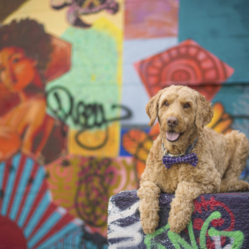 Happy Tails: Spencer the Goldendoodle In Minneapolis