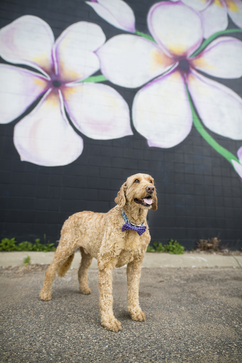 dog standing in front of a mural, Minneapolis pet photography, ©About A Dog Photography