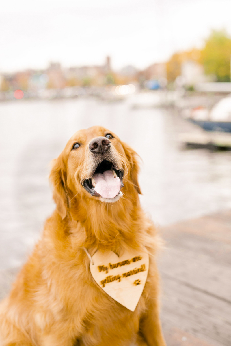 "Golden Retriever wearing wooden wedding announcement sign ""My Parents Are Getting Married"" ©Amanda McPhee Studios 
