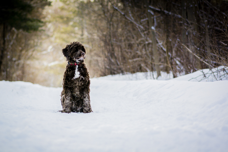 brown dog sitting in the snow, ©Beth Alexander Photography | Ontario Pet Photography