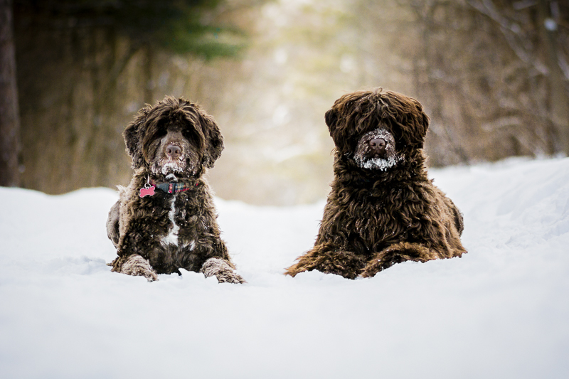 two shaggy dogs lying in the snow, ©Beth Alexander Photography | Ontario pet portraits