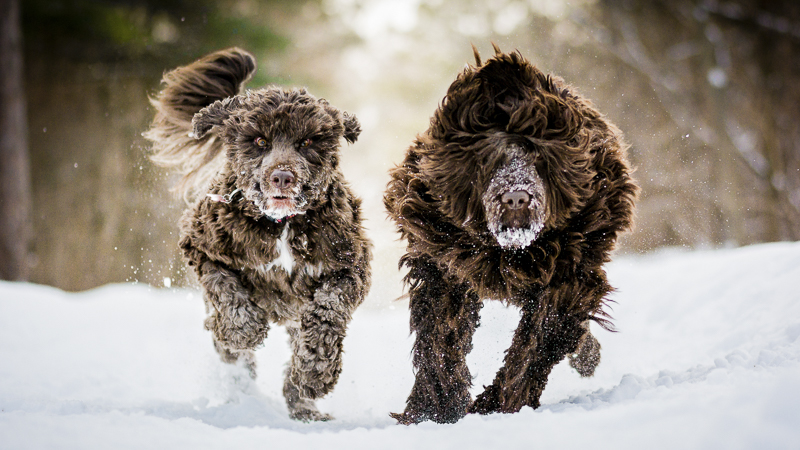 Brown Portuguese Water Dogs running through the snow, ©Beth Alexander Photography | Ontario Pet Photography