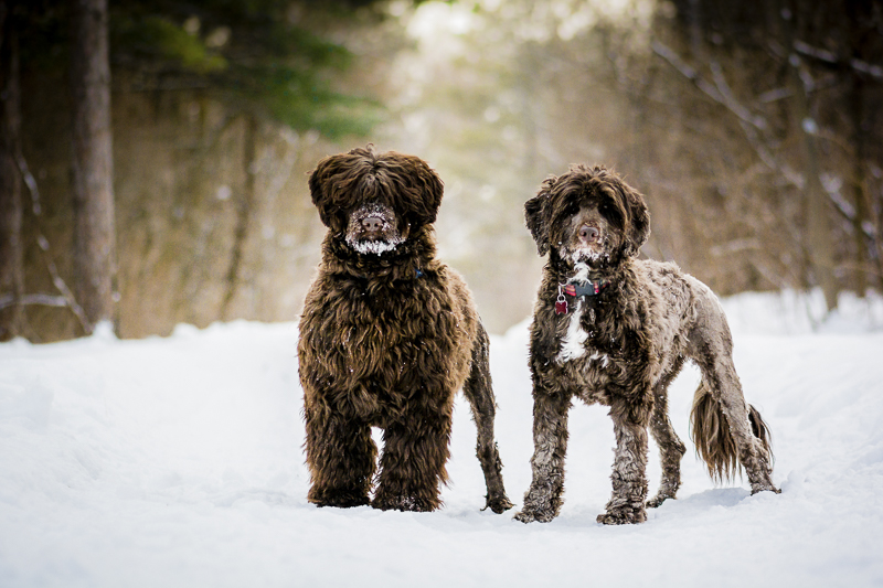 brown Portuguese water dogs standing side by side, dog bffs, ©Beth Alexander Photography | winter dog photography ideas