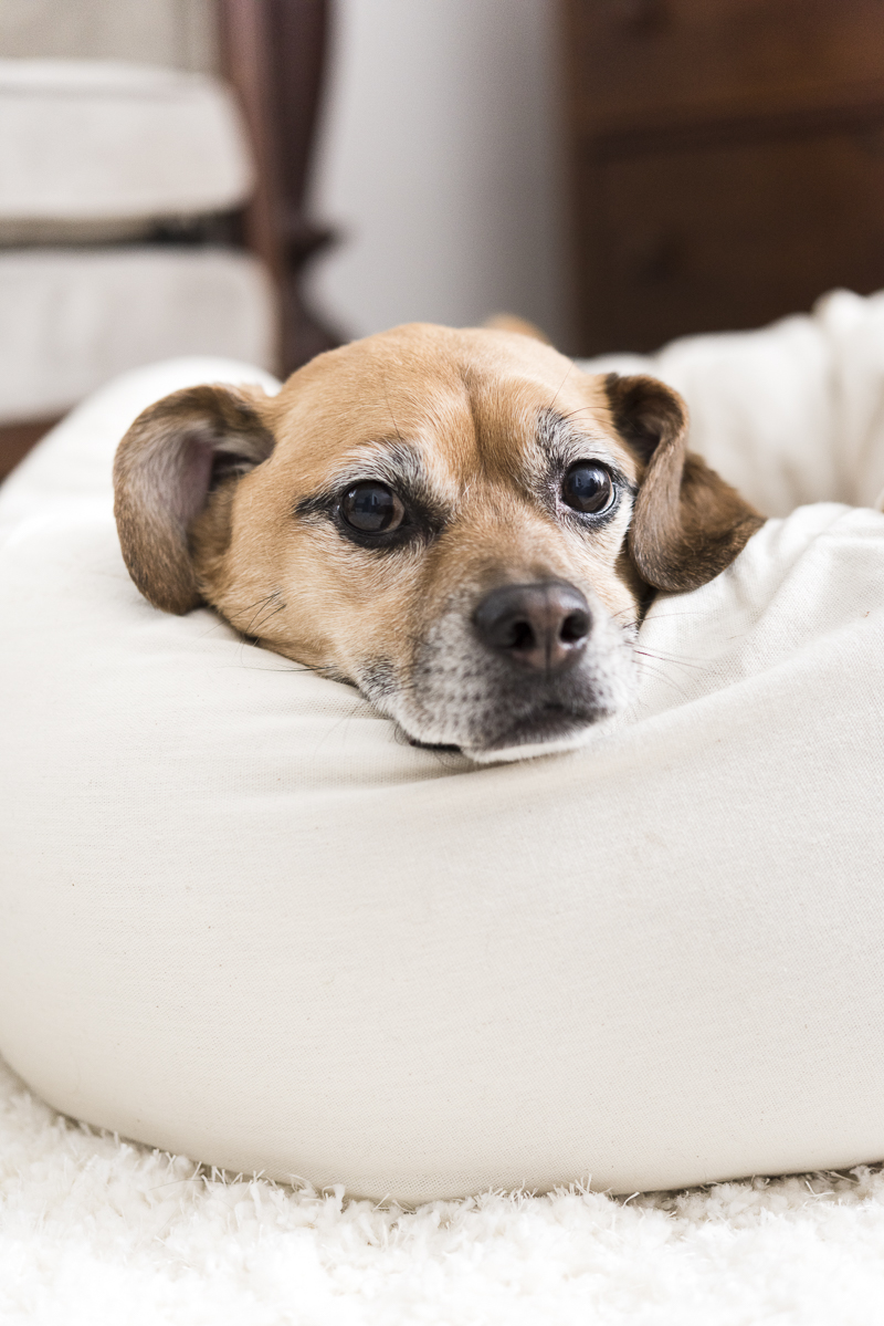 sweet Puggle mix lying in comfy dog bed, sturdy and comfortable dog bed   ©Alice G Patterson Photography   Syracuse commercial and editorial photography