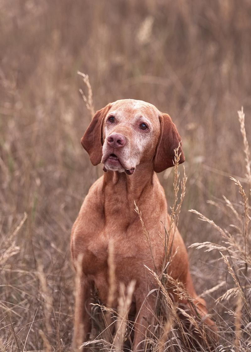 senior Vizsla, dog inspired woman to change her life, ©Good Morrow Photography | lifestyle dog photography, Arvada, CO