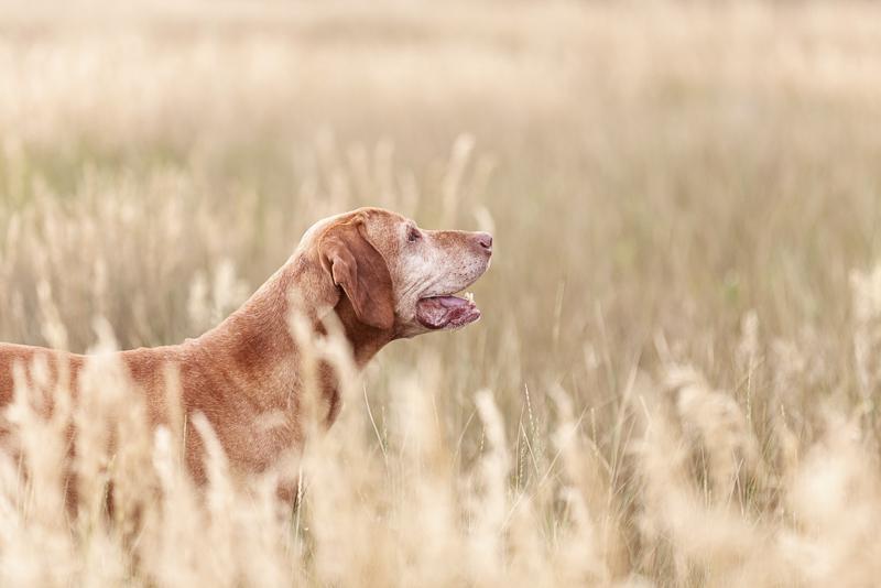 happy old dog, touching pet portraits, ©Good Morrow Photography | lifestyle dog photography, Arvada, CO