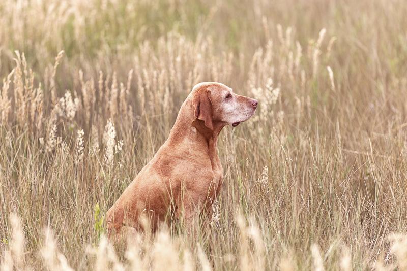 senior Viszla, old dog sitting in field | ©Good Morrow Photography