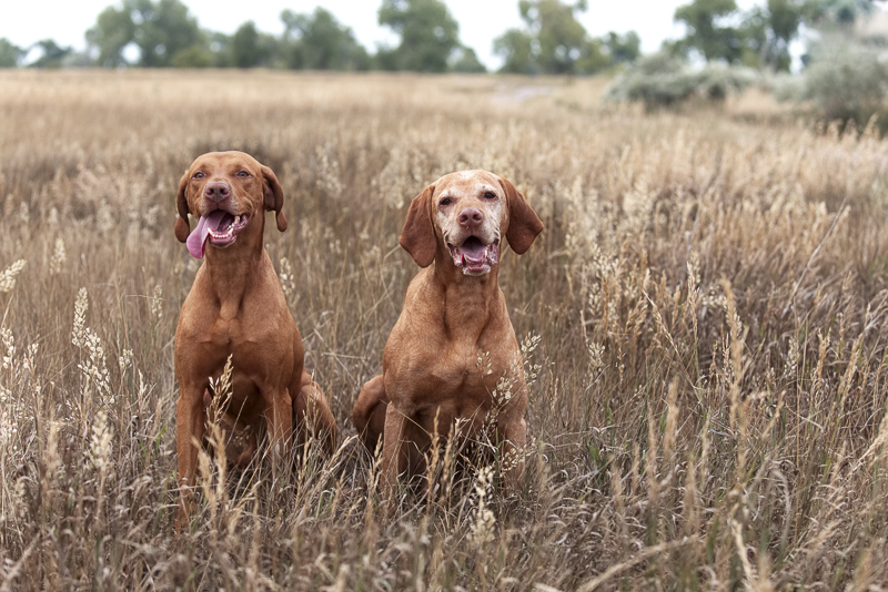 Two Vizslas sitting in tall grass, on location pet photography | ©Good Morrow Photography