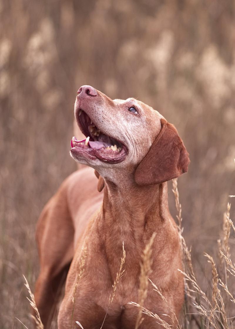 happy senior dog in tall grass | ©Good Morrow Photography | lifestyle dog photo shoot Arvada, CO