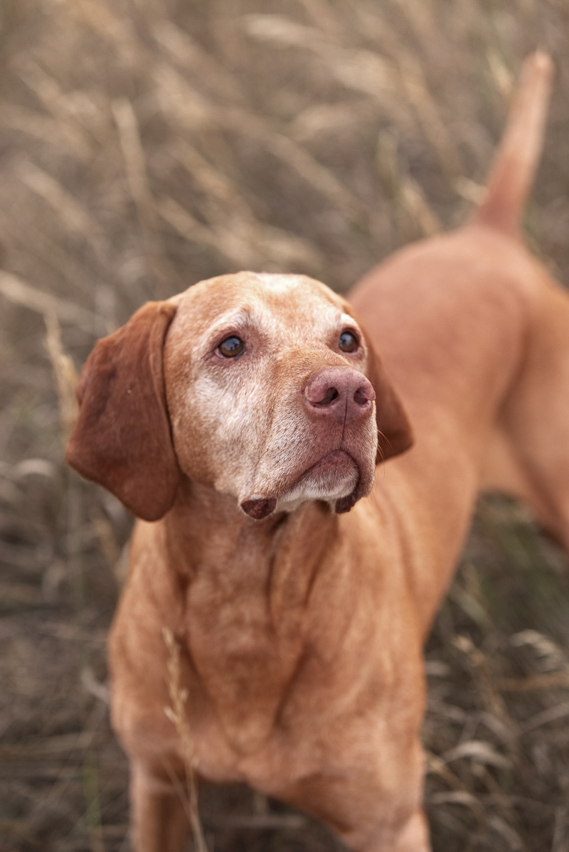 sweet senior Vizsla inspired woman to change her life, love between humans and dogs, ©Good Morrow Photography | lifestyle dog photography, Arvada, CO