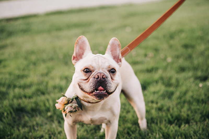 French Bulldog wearing flowers on his collar, dog-friendly wedding, Bohemia Outlook   Landrum Photography